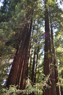 muir_woods_tress