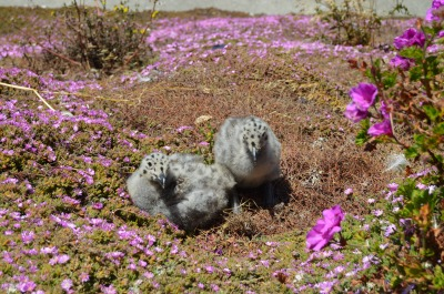Nesting Sea Gulls / Albatross at Alcatraz