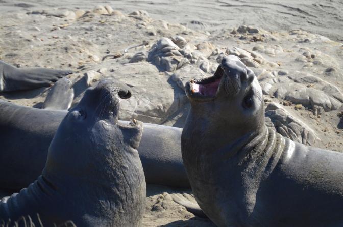 pch_elephant_seals