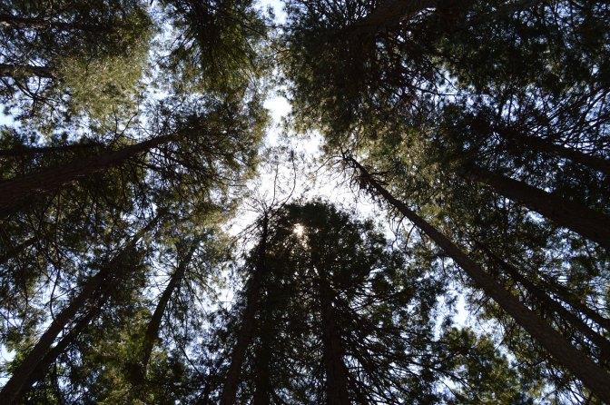yosemite_tall_trees
