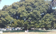 This huge tree in Balboa Park...Huge