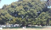 This huge tree in Balboa Park...Huge