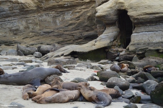 la_jolla_cove_sea_lions_markings