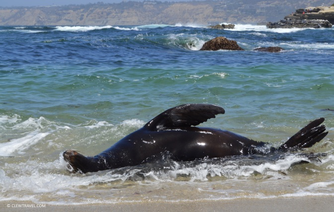 seal_beach_rolling_sea_lion