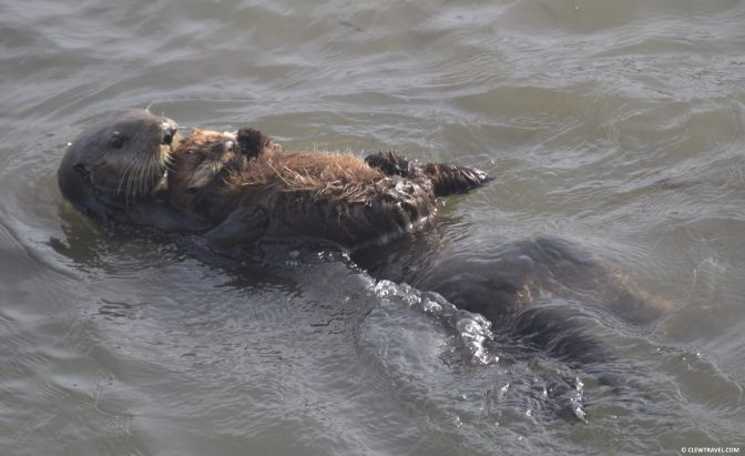 morro_bay_otter_mom