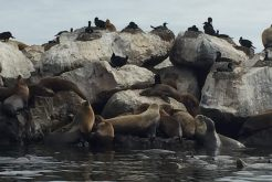 sea_lion_colony_monterey