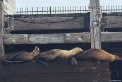 sea_lion_trio_sleeping