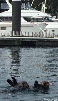 sea_otters_monterey_wave